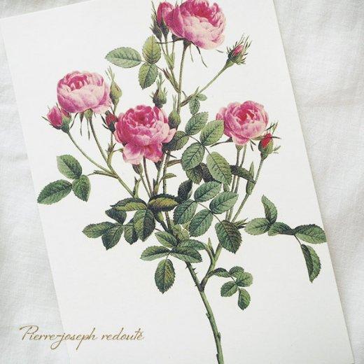 ルドゥーテ バラ図鑑 ポストカード  (ロサ・ポンポニア)ボタニカルアート【画像4】