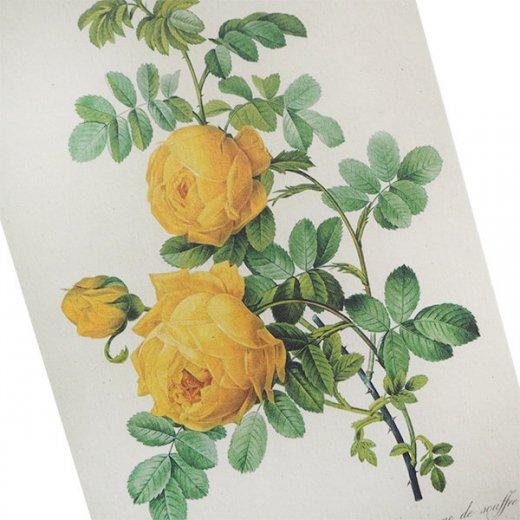 ルドゥーテ バラ図鑑 ポストカード  (Rosa Sulfurea)ボタニカルアート【画像2】