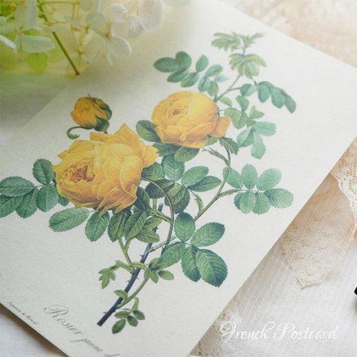 ルドゥーテ バラ図鑑 ポストカード  (Rosa Sulfurea)ボタニカルアート【画像3】