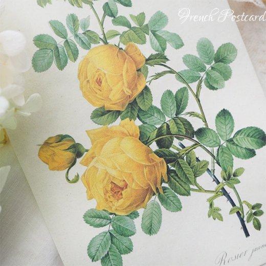 ルドゥーテ バラ図鑑 ポストカード  (Rosa Sulfurea)ボタニカルアート【画像4】
