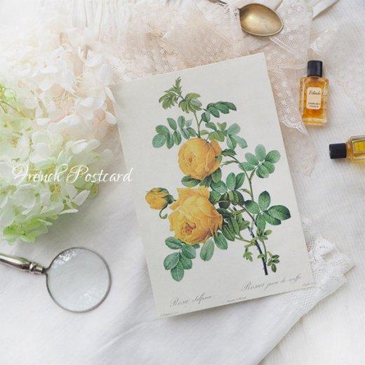 ルドゥーテ バラ図鑑 ポストカード  (Rosa Sulfurea)ボタニカルアート【画像5】