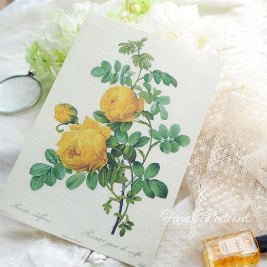 ルドゥーテ バラ図鑑 ポストカード  (Rosa Sulfurea)ボタニカルアート【画像6】