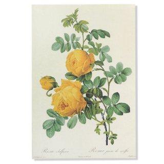 ルドゥーテ バラ図鑑 ポストカード  (Rosa Sulfurea)ボタニカルアート