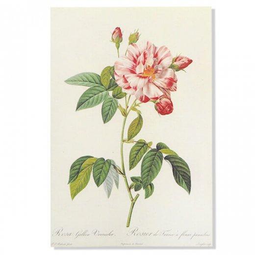 ルドゥーテ バラ図鑑 ポストカード  (Rosa Gallica)ボタニカルアート