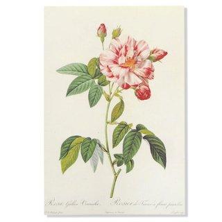 バラ ローズ 雑貨 ルドゥーテ バラ図鑑 ポストカード  (Rosa Gallica)ボタニカルアート