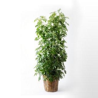 観葉植物15000