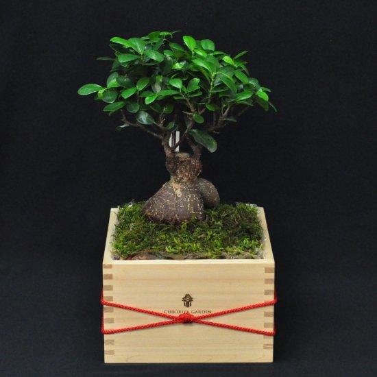 枡盆栽 二升五号(ガジュマル)