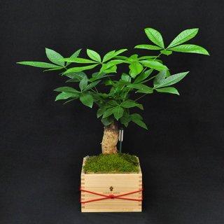 枡盆栽 二升五合(パキラ)