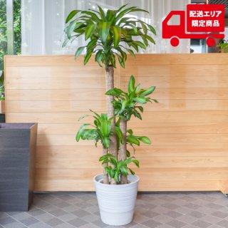 鉢物・観葉植物・ドラセナ・マッサンギアナ10号鉢
