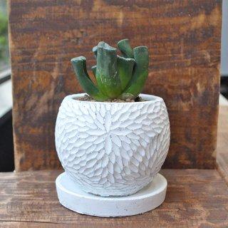 多肉植物・ハオルチア 玉万・白鉢