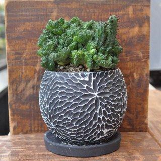 多肉植物・ユーフォルビア エノプラ(紅彩閣)・黒鉢