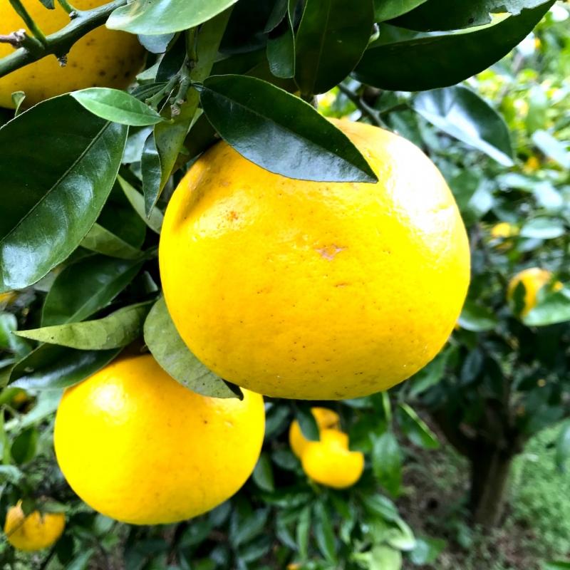 自然栽培・有機果物(柑橘・ブルーベリー・栗など)