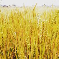 【小麦粉】生産者と栽培方法