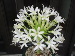 ブルンスヴィギア ボスマニアエ alba白花 brunsvigia bosmaniae alba 親球 現品限り