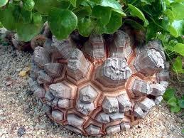 《完売しました!》亀甲竜の種10粒 Dioscorea elephantipes