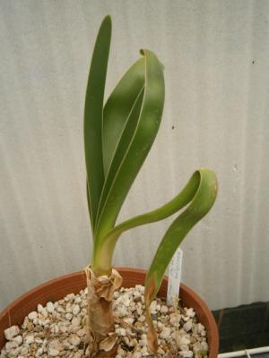 ウォースレヤ Worsleya procera Eggins clone 中苗 ブルーアマリリス