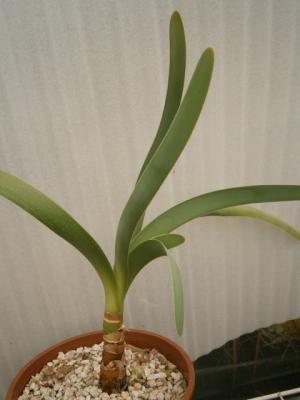 ウォースレヤ Worsleya procera cosh clone 中苗 ブルーアマリリス