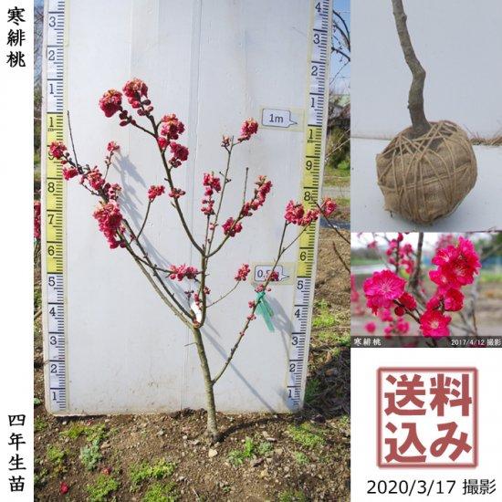 大苗◇サクラ(桜) 啓翁桜(ケイオウザクラ)[地掘苗]【A】◆ワケあり
