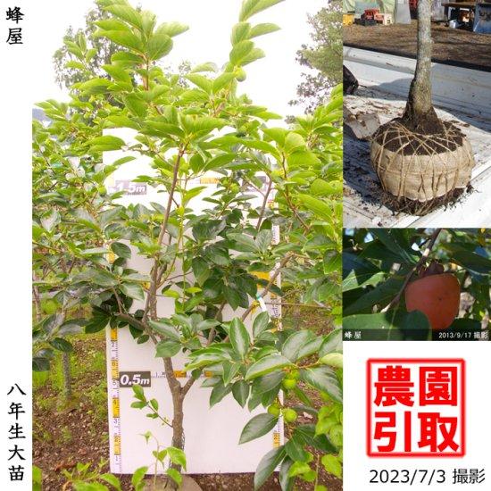 大苗◇サクラ(桜)啓翁桜(ケイオウザクラ)[地掘苗:大]【B】◆ワケあり