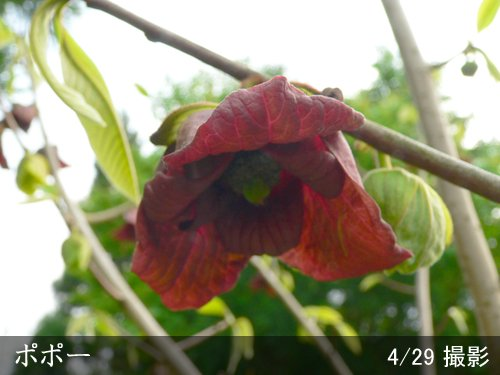 大苗◇サクラ(桜) 啓翁桜(ケイオウザクラ)[地掘苗]【C】◆ワケあり