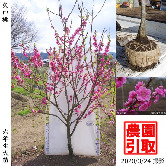 大苗◇サクラ(桜) 啓翁桜(ケイオウザクラ)[地掘苗]【D】◆ワケあり