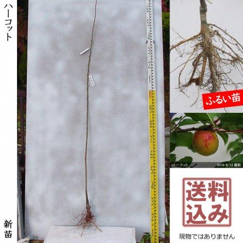 新苗◇アンズ(杏) ハーコット[ふるい苗:特等 1年生 接ぎ木]*送料込