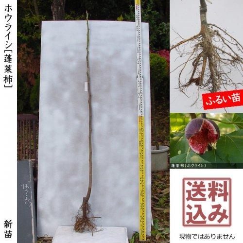 新苗◇イチジク(無花果) ホウライシ(蓬莱柿)在来種[ふるい苗:特等 1年生 挿し木]*送料込