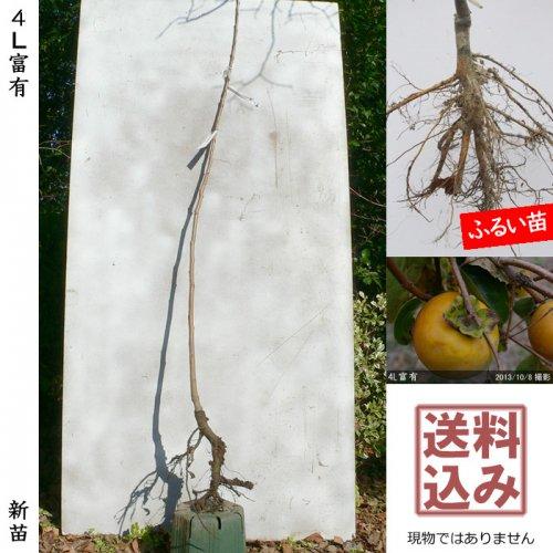 新苗◇カキ(甘柿) 4L富有(ふゆう)[ふるい苗:特等 1年生 接ぎ木]*送料込