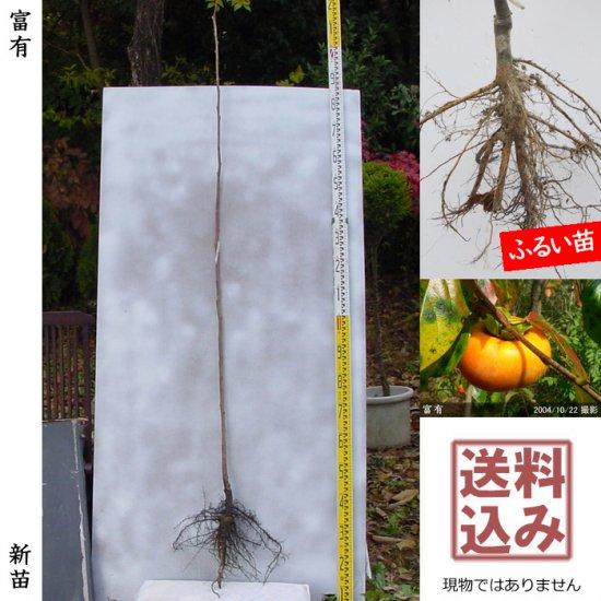 新苗◇カキ(甘柿) 富有(ふゆう)[ふるい苗:特等 1年生 接ぎ木]*送料込