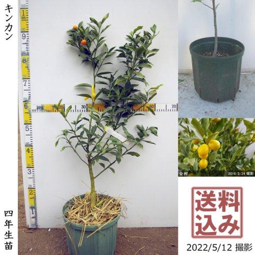 3年生苗◇柑橘類 キンカン(金柑) 春植え[スリットポット苗 2018年:M]