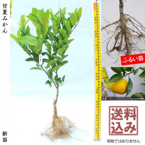 新苗◇柑橘類 甘夏みかん[ふるい苗:特等 接ぎ木]*送料込