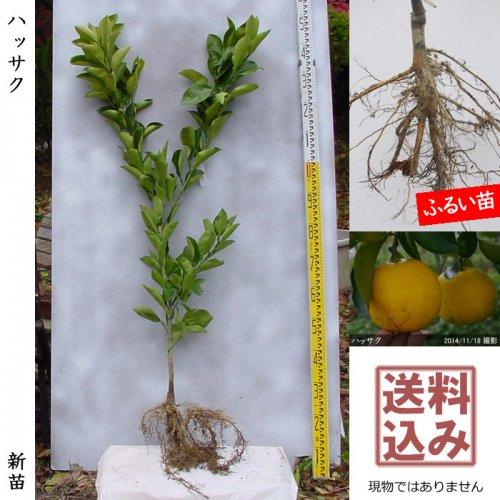 【予約商品】新苗◇柑橘類 ハッサク(八朔)[ふるい苗:特等 接ぎ木]*送料込