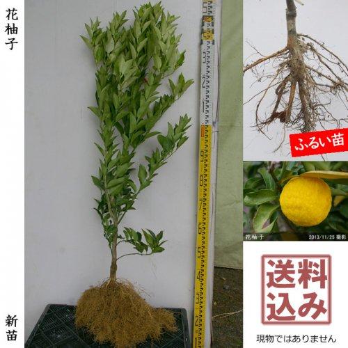 新苗◇柑橘類 花柚子(ハナユ・花ユズ)[ふるい苗:特等 接ぎ木]*送料込