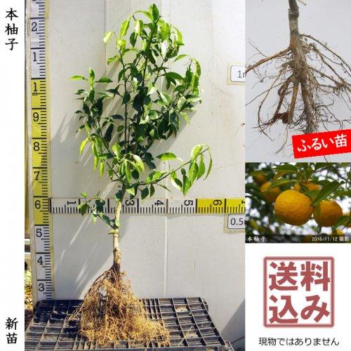 新苗◇柑橘類 本柚子(ほんゆず)[ふるい苗:特等 接ぎ木]*送料込