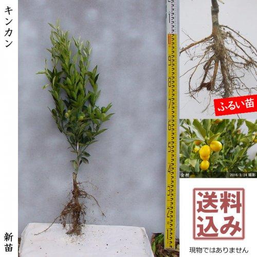 【予約商品】新苗◇柑橘類 キンカン(金柑)[ふるい苗:特等 接ぎ木]*送料込
