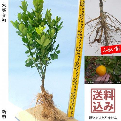 新苗◇柑橘類 大実金柑(おおみきんかん)[ふるい苗:特等 接ぎ木]*送料込