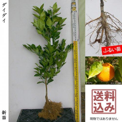新苗◇柑橘類 ダイダイ(橙)[ふるい苗:特等 接ぎ木]*送料込