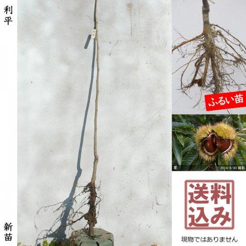 新苗◇クリ(栗 中生種) 利平(りへい)[ふるい苗:特等 1年生 接ぎ木]*送料込
