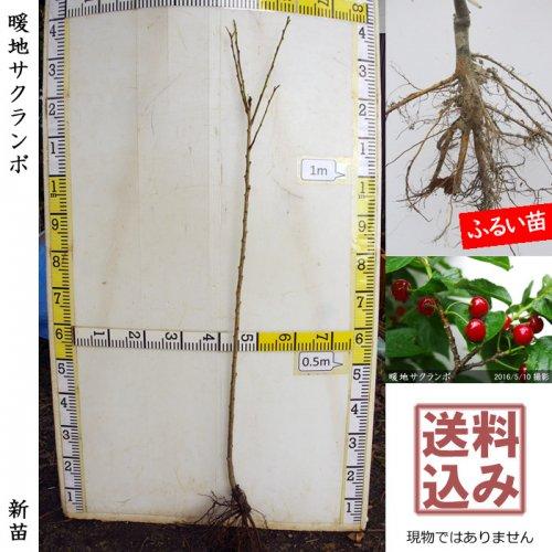 新苗◇サクランボ(桜桃)暖地さくらんぼ[ふるい苗:特等 1年生 接ぎ木]*送料込