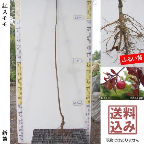 新苗◇スモモ(李 プラム) 紅スモモ[ふるい苗:特等 1年生 接ぎ木]*送料込