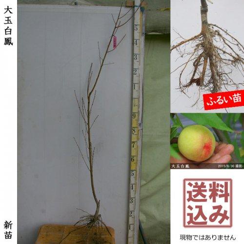 新苗◇モモ(桃) 大玉白鳳(おおだまはくほう)[ふるい苗:特等 1年生 接ぎ木]*送料込