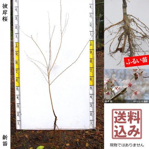 新苗◇サクラ(桜) 彼岸桜(ヒガンザクラ)[ふるい苗:特等 4尺 接ぎ木]*送料込