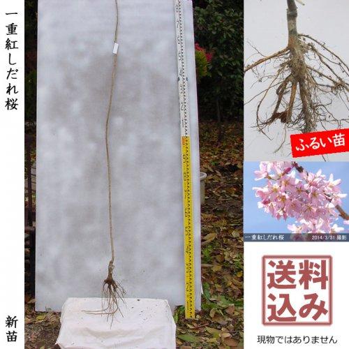 新苗◇サクラ(桜) 一重紅しだれ桜[ふるい苗:特等 4尺 接ぎ木]*送料込