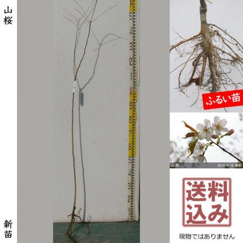 新苗◇サクラ(桜) 山桜(ヤマザクラ)[ふるい苗:特等 4尺 実生]*送料込