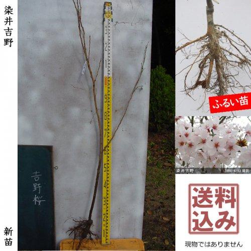 新苗◇サクラ(桜) 染井吉野(ソメイヨシノ)[ふるい苗:特等 4尺 接ぎ木]*送料込