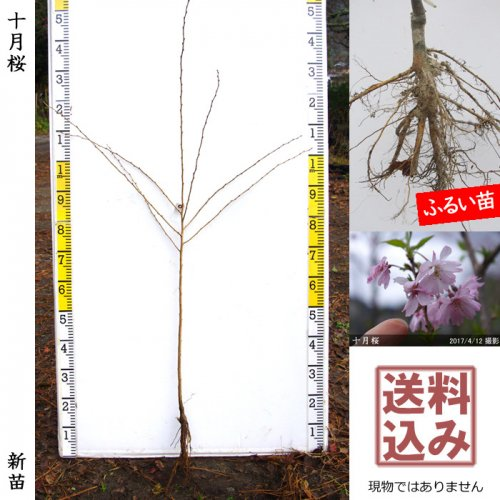 新苗◇サクラ(桜) 十月桜(ジュウガツザクラ)[ふるい苗:特等 4尺 接ぎ木]*送料込