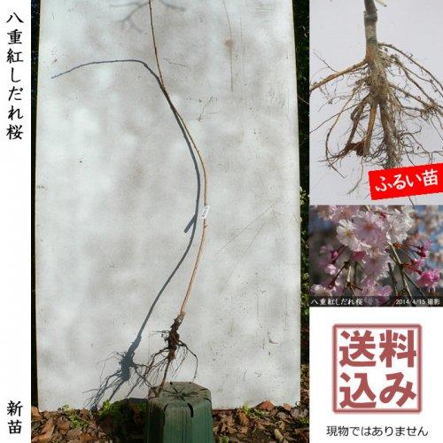 新苗◇サクラ(桜) 八重紅しだれ桜[ふるい苗:特等 4尺 接ぎ木]*送料込