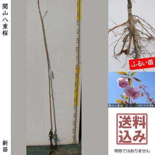 新苗◇サクラ(桜) 関山(カンザン)八重桜[ふるい苗:特等 4尺 接ぎ木]*送料込