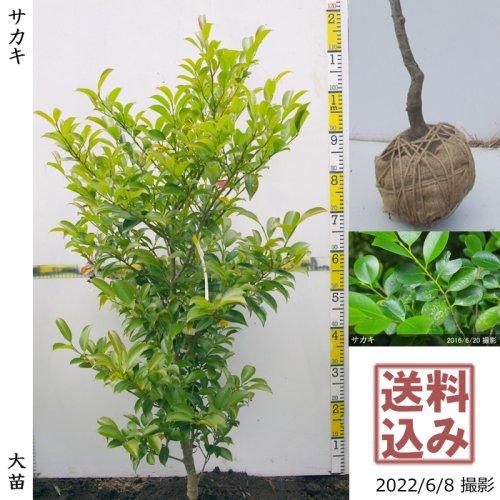 【予約商品】大苗◇常緑樹 サカキ(榊)[地掘苗:S]