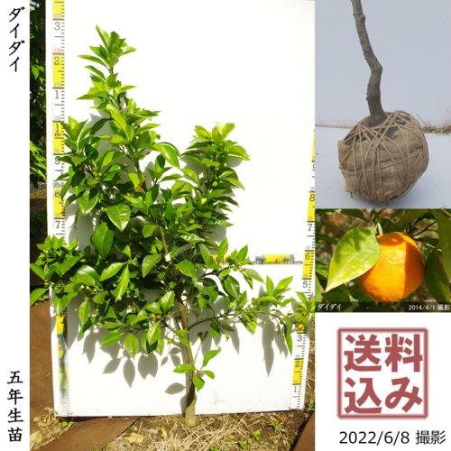 3年生苗◇柑橘類 ダイダイ(橙)[地掘苗 2018年:L]〜実付実績〜